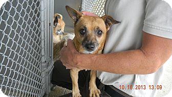 Chihuahua Mix Dog for adoption in Sandusky, Ohio - APOLLO