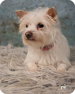Cairn Terrier/Terrier (Unknown Type, Small) Mix Dog for adoption in Salem, Oregon - Diamond