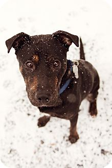 Hound (Unknown Type)/Labrador Retriever Mix Puppy for adoption in Jersey City, New Jersey - Topper Headon