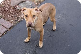 Hound (Unknown Type)/Vizsla Mix Puppy for adoption in Shrewsbury, New Jersey - Penny