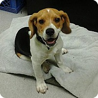 Adopt A Pet :: Chumley - Indianapolis, IN