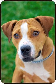 American Pit Bull Terrier Mix Dog for adoption in Elyria, Ohio - Moet
