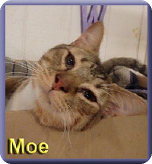 Domestic Shorthair Cat for adoption in Aldie, Virginia - Moe