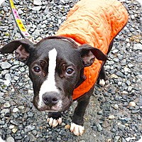 Adopt A Pet :: Bowser - Reisterstown, MD