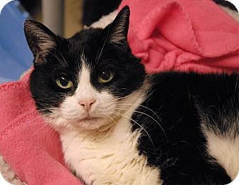 Domestic Shorthair Cat for adoption in Winchendon, Massachusetts - Olivia