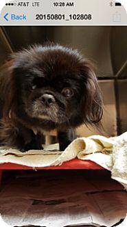 Pekingese Dog for adoption in Ft. Lauderdale, Florida - Mary