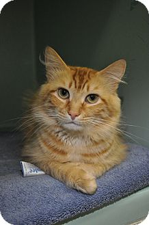 Domestic Longhair Cat for adoption in Rockaway, New Jersey - Cheddar