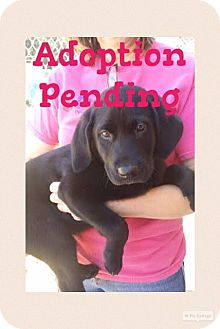 Labrador Retriever Mix Puppy for adoption in Westwood, New Jersey - Shadow