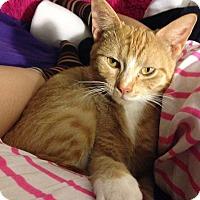 Adopt A Pet :: Yolk Pie - Chicago, IL