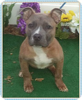 Pit Bull Terrier/Labrador Retriever Mix Puppy for adoption in Marietta, Georgia - JACKSON see also SKYLEIGH