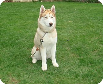 Siberian Husky Mix Dog for adoption in Rockville, Maryland - Chuck