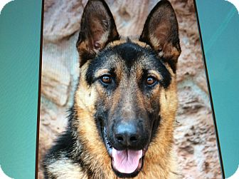 German Shepherd Dog Puppy for adoption in Los Angeles, California - ARROW VON ALZEY