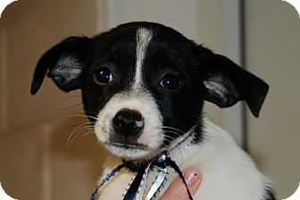 Rat Terrier/Jack Russell Terrier Mix Puppy for adoption in Salem, West Virginia - Dallas