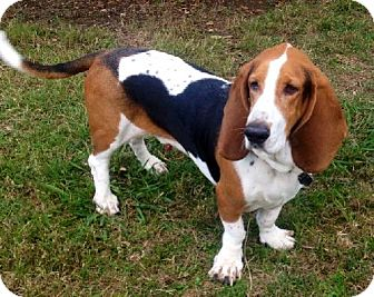 Basset Hound Dog for adoption in Grapevine, Texas - Roscoe