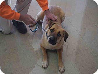 Black Mouth Cur Mix Dog for adoption in Newnan City, Georgia - Sarah