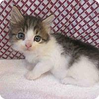 Adopt A Pet :: Venus-Available Soon - Arlington, VA