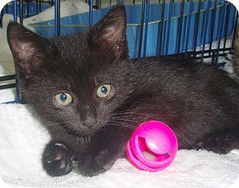 Domestic Shorthair Kitten for adoption in Germansville, Pennsylvania - Emma