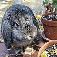 Adopt A Pet :: Medea - Livermore, CA