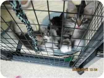 Domestic Mediumhair Kitten for adoption in Grants Pass, Oregon - Sarah's Kittens