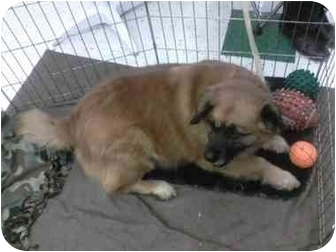Shepherd (Unknown Type)/Collie Mix Dog for adoption in Coal City, West Virginia - Tramp