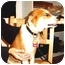 Photo 1 - Collie/Beagle Mix Dog for adoption in West Los Angeles, California - Stevie