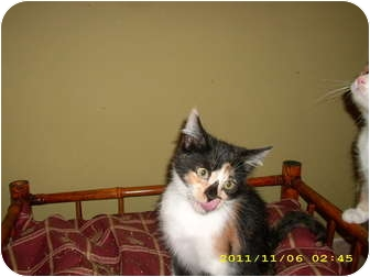 Domestic Shorthair Kitten for adoption in Wilmington, Delaware - Callie