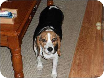 Beagle/Beagle Mix Dog for adoption in Norman, Oklahoma - Lilly