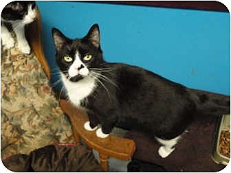Domestic Shorthair Cat for adoption in MADISON, Ohio - Millie