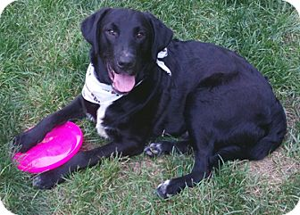 Labrador Retriever Dog for adoption in Cincinnati, Ohio - Reno