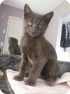 Russian Blue Kitten for adoption in Monroe, Georgia - Slate