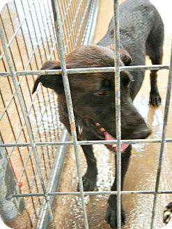 Labrador Retriever Mix Dog for adoption in McKinney, Texas - Sonny