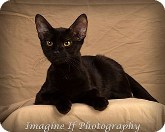 Domestic Shorthair Kitten for adoption in Edmond, Oklahoma - Cosmo