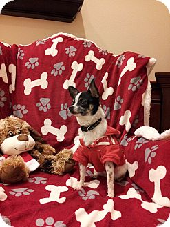 Chihuahua Dog for adoption in Orland Park, Illinois - Ruckus