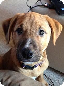 German Shepherd Dog/Labrador Retriever Mix Puppy for adoption in Garden City, Michigan - Mistletoe