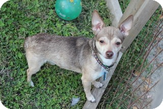 Chihuahua Mix Dog for adoption in Washington, Indiana - Jimmy