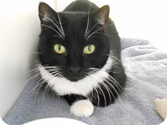 Domestic Shorthair Cat for adoption in Jackson, New Jersey - Spock