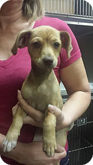 Terrier (Unknown Type, Medium) Mix Puppy for adoption in Astoria, New York - May