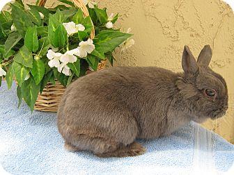 Netherland Dwarf for adoption in Bonita, California - Bluebell