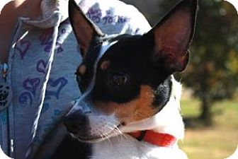 Jack Russell Terrier/Rat Terrier Mix Dog for adoption in Lincolnton, North Carolina - Paula