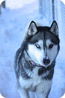 Siberian Husky Dog for adoption in Sycamore, Illinois - Champagne