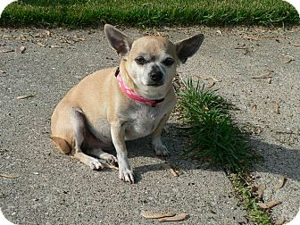 Chihuahua Mix Dog for adoption in Detroit, Michigan - Ava-Adopted!