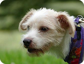 Shih Tzu/Schnauzer (Miniature) Mix Dog for adoption in Pennigton, New Jersey - Coquito