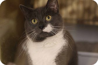 Domestic Shorthair Cat for adoption in Gainesville, Virginia - Rocky