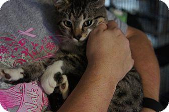 Domestic Shorthair Kitten for adoption in Henderson, North Carolina - GiGi*
