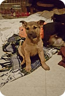 Rottweiler/German Shepherd Dog Mix Puppy for adoption in Winnetka, California - ASTRO AND LINUS