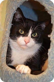 Domestic Shorthair Cat for adoption in Westbury, New York - Bishop