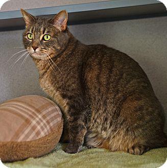 Domestic Shorthair Cat for adoption in Gardnerville, Nevada - Gracie