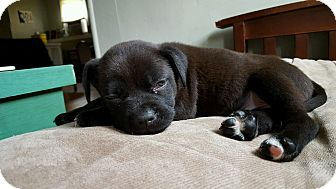 Boxer/Labrador Retriever Mix Puppy for adoption in Brattleboro, Vermont - Danny