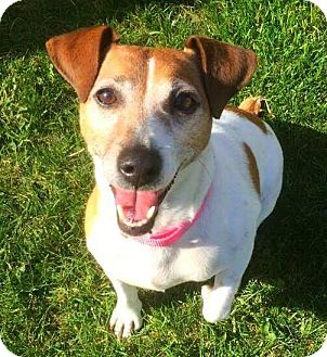 Jack Russell Terrier Mix Dog for adoption in Grand Rapids, Michigan - Jesse
