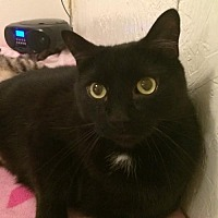 Domestic Shorthair Cat for adoption in Montreal, Quebec - Harry